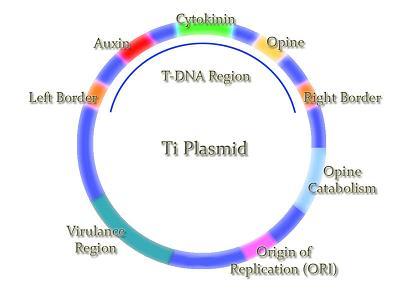 ti_plasmid